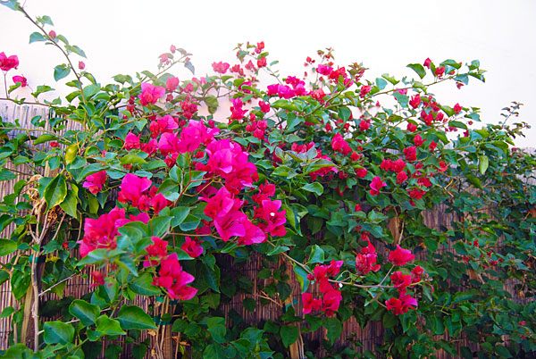bougainvillea-lowes.jpg