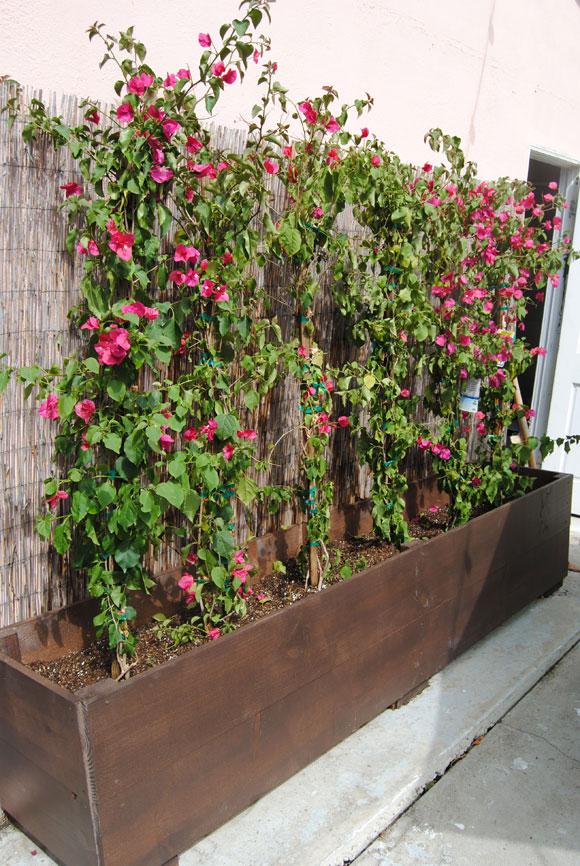 bougainvillea-planted.jpg