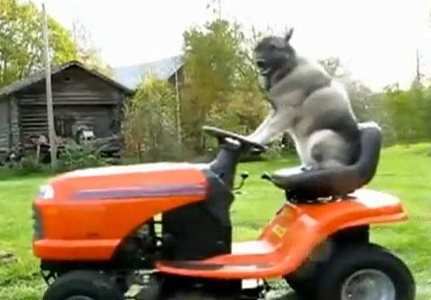 bad dog mowers. everyone\u0027s favorite lawn mowing dog | mowers pinterest and bad