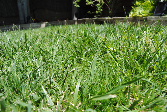 grass closeup Fixing a Spotty Lawn with 1 Step Complete