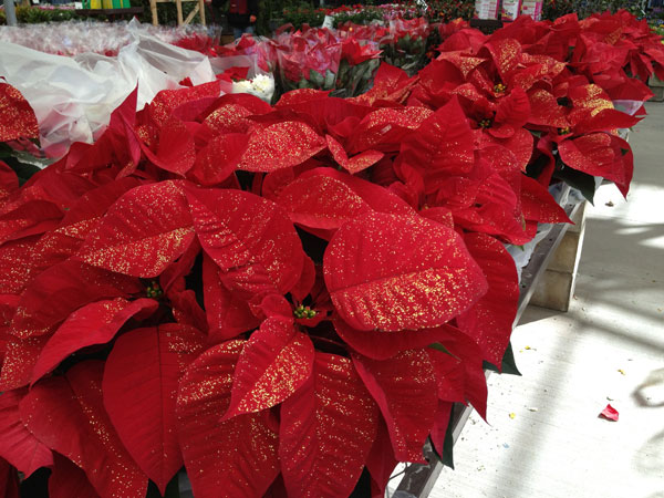 lowes poinsettia Rad Reasons To Shop at Lowes