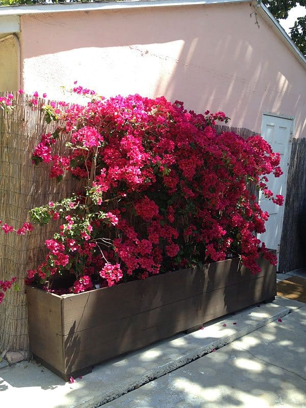 bougainvillea-boxes