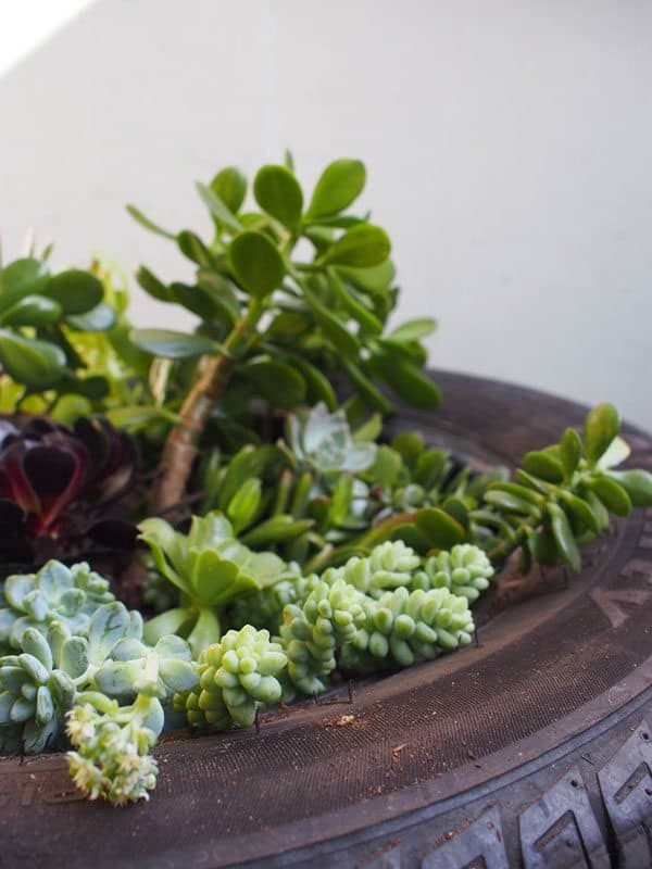 closeup-white-succulent