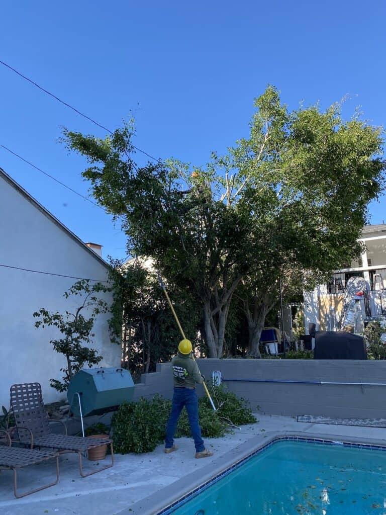 ficus tree trimming