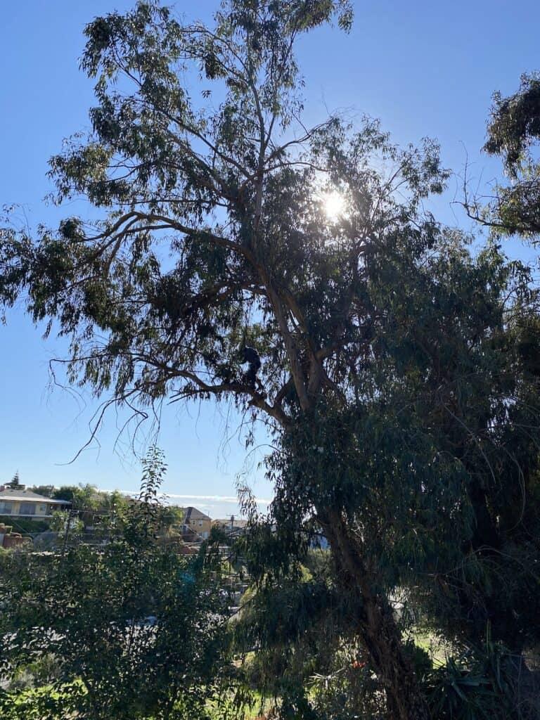 eucalyptus tree trimming